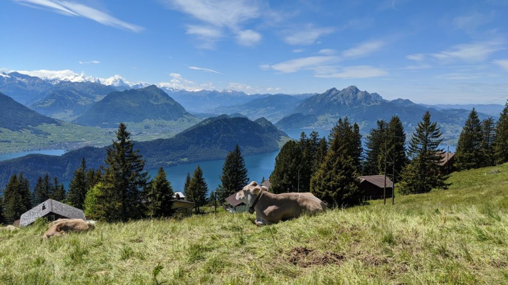 Cows chilling out on Mount Rigi in Switzerland. In the background mount Bürgenstock, mount Pilatus and Stanserhorn are visible.