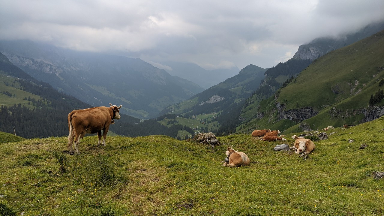 Cows on the Via Alpina from Sefinenfurgge to Griesalp, Switzerland. Bad weather approaching.
